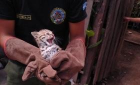 Rescatan a un gato montés que era ofrecido en las redes sociales