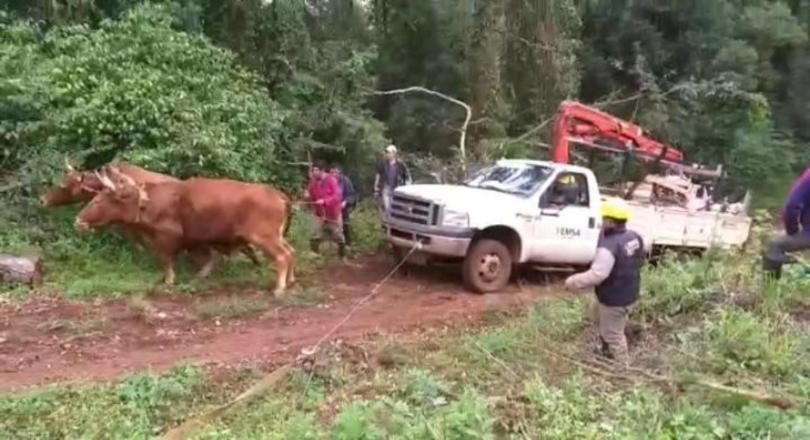 Tiraron con bueyes un camión de EMSA