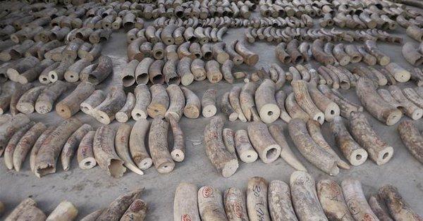 Secuestran 8,8 toneladas de marfil en Singapur