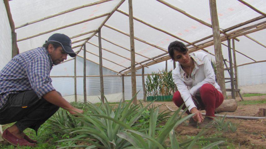 Evalúan si es viable el cultivo de plantas de ananá en la región