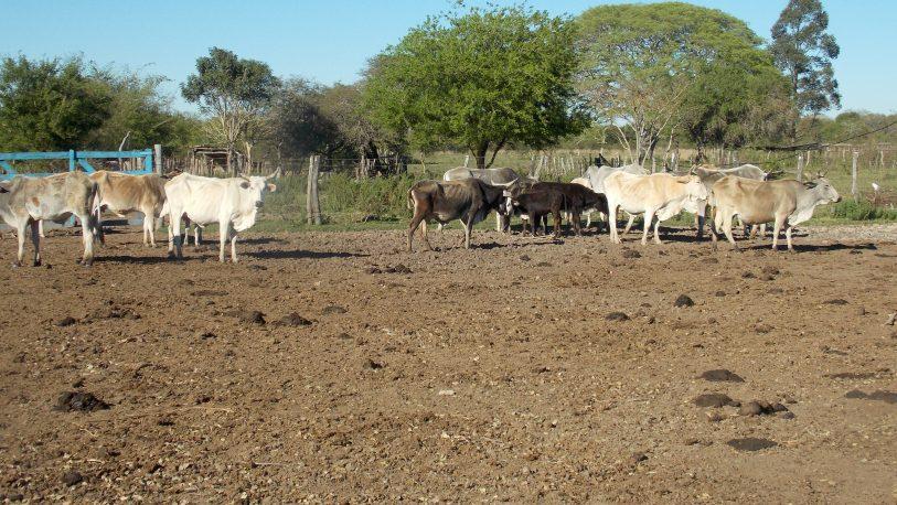 Corrientes: con la genética buscan mejorar la producción láctea en tambos