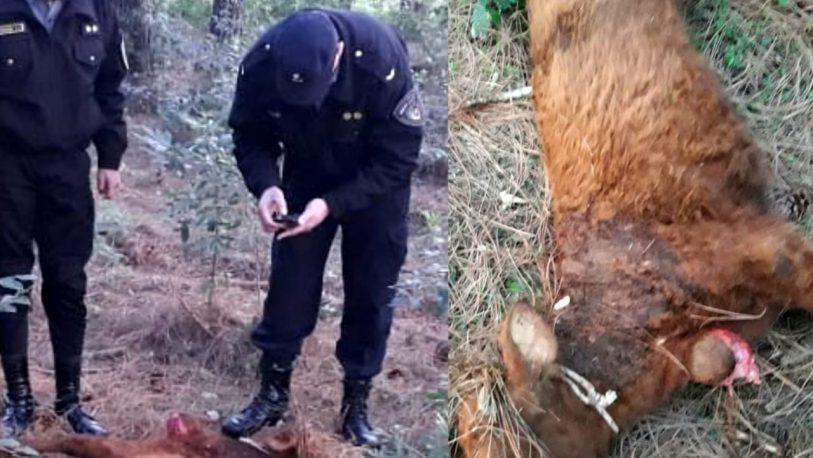 Gato onza mató novillos en una chacra de Alem
