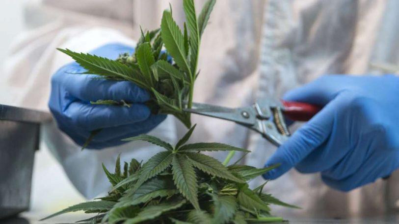 """""""Argentina cuenta con todos los recursos para investigar y producir cannabis"""", aseguró especialista"""