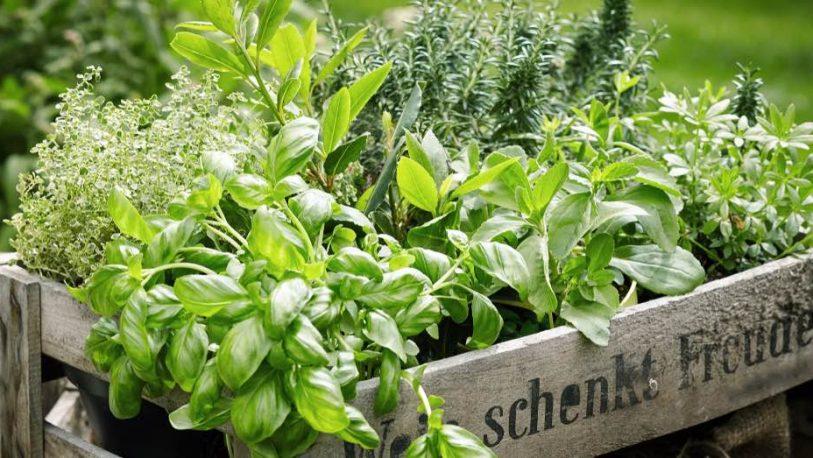 Conocé las plantas aromáticas que mejor se adaptan al invierno