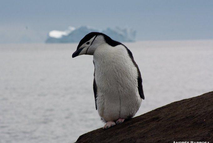 Hallan por primera vez restos de microplásticos en pingüinos de la Antártida