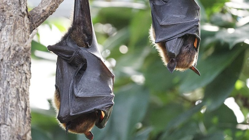 Corrientes: Amplían conocimiento de ecología y distribución de murciélagos