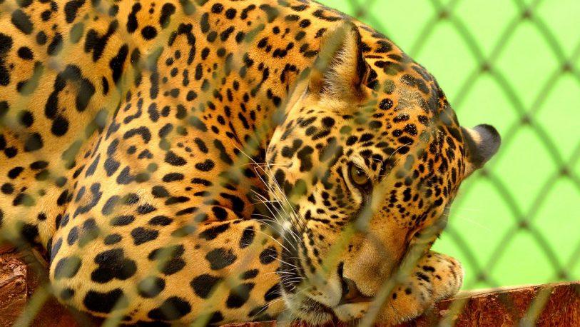 Argentina y Brasil unifican esfuerzos para salvar al Yaguareté