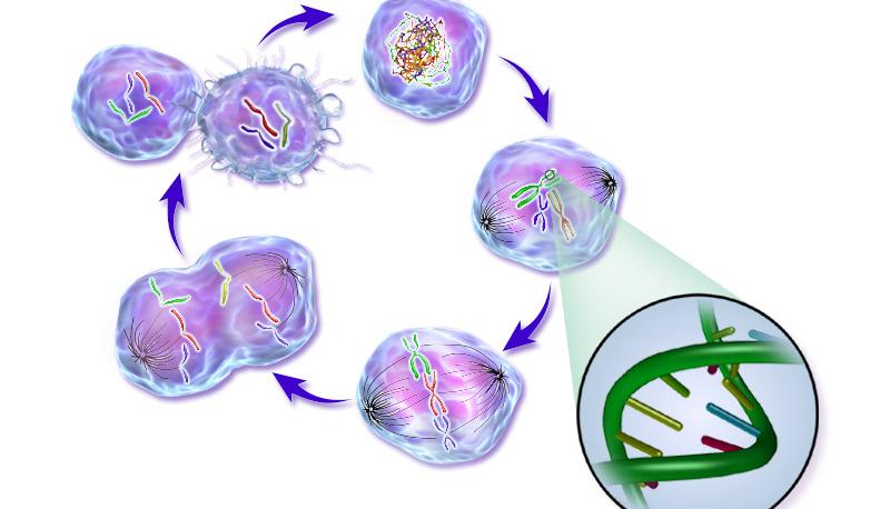 Un descubrimiento inmunológico podría servir para tratar varios tipos de cáncer