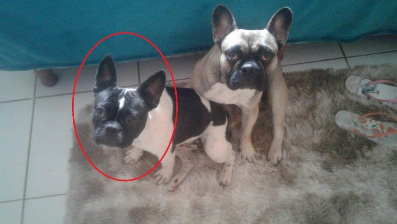 Robaron una hembra de bulldog francés y sus dueños piden datos