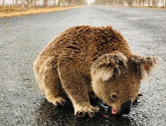 Koala desesperado por tomar agua