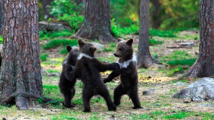Captan a pequeños osos en extraño ritual