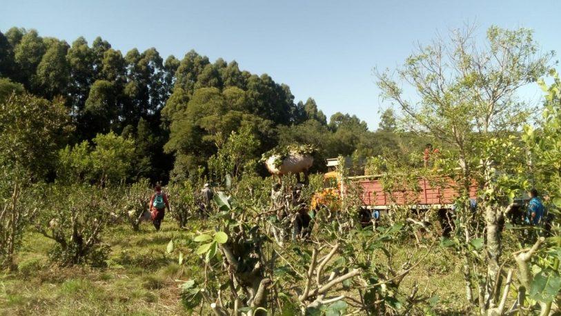Ingresaron ilegalmente a una chacra para cosechar yerba