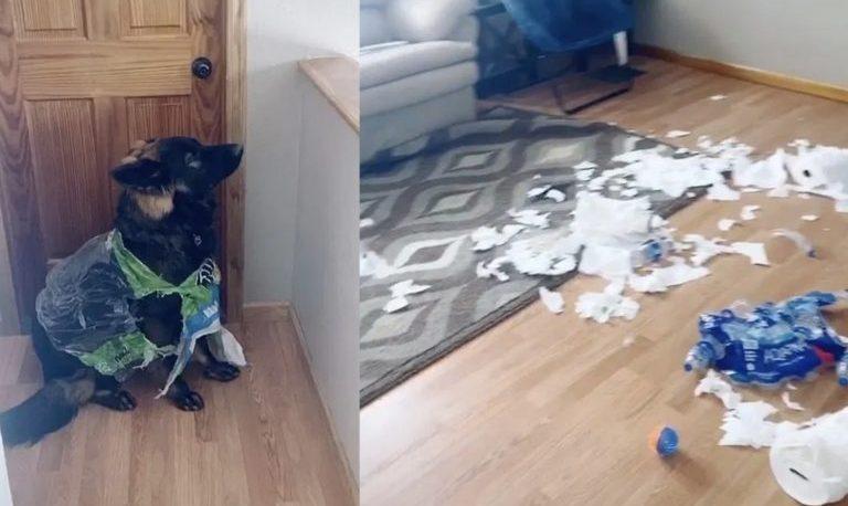 Un perro destruyó el papel higiénico que tenía su dueña para la cuarentena