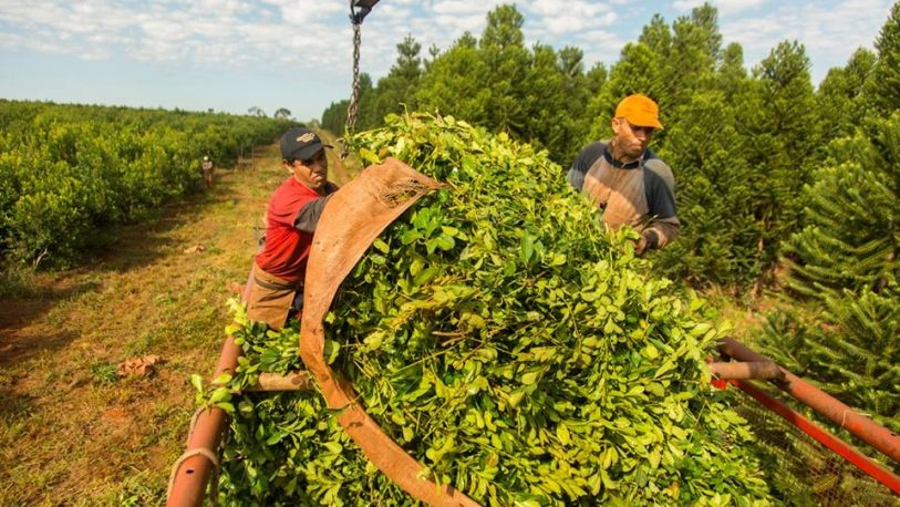 Definieron el precio de la yerba: $20 la hoja verde