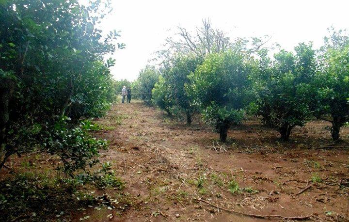 INYM estableció un mecanismo para garantizar la distribución equitativa de nuevas plantaciones