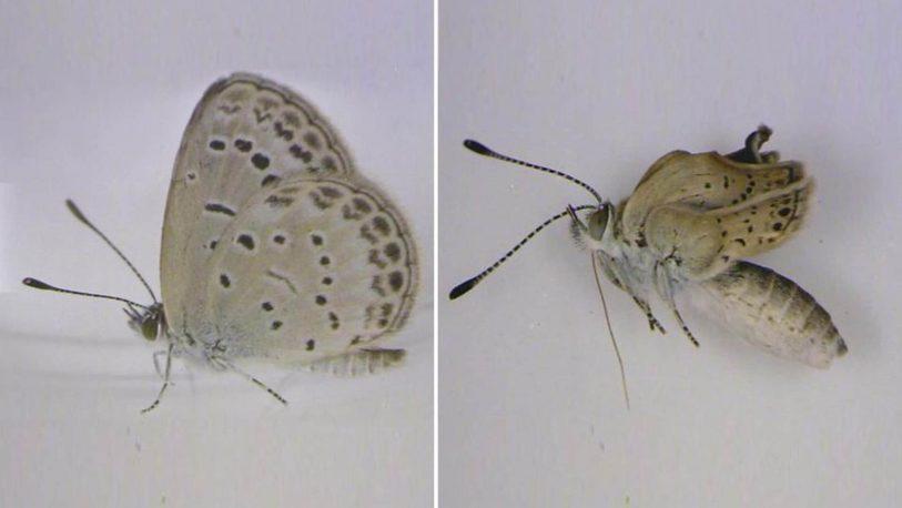 Aparecieron mariposas mutantes en Fukushima