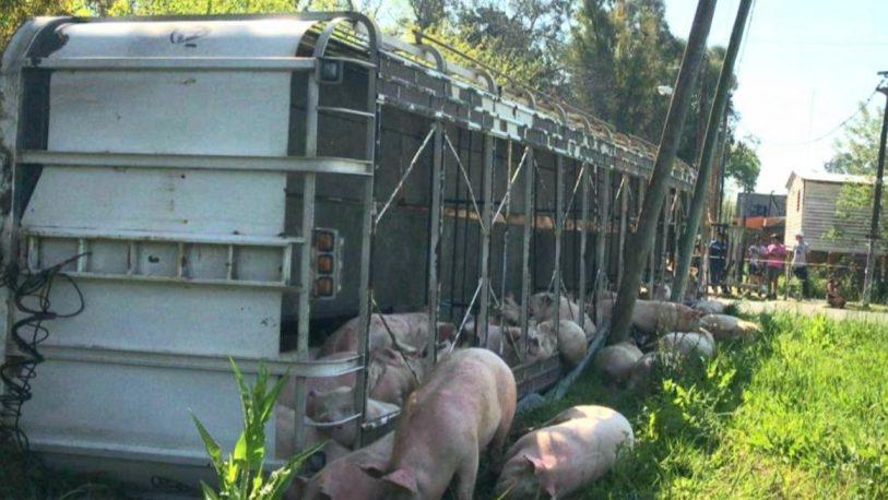 Un camión que transportaba cerdos volcó y la gente los carneó en la calle