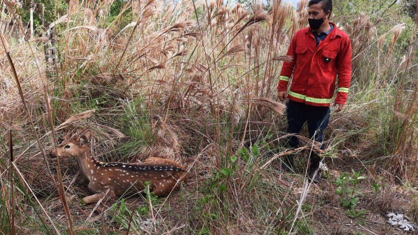 Garupá: encontró un ciervo en su patio