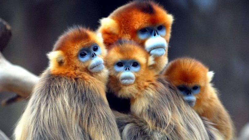 Avistan monos dorados de nariz chata en noroeste de China