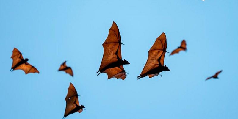 Alerta mundial por la infección de lyssavirus en murciélagos