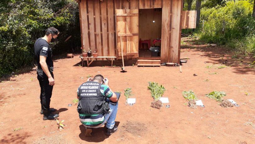 Incautaron 95 plantas de marihuana en Campo Ramón