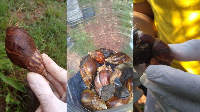 Desde el Senasa advierten sobre el peligro de los caracoles africanos