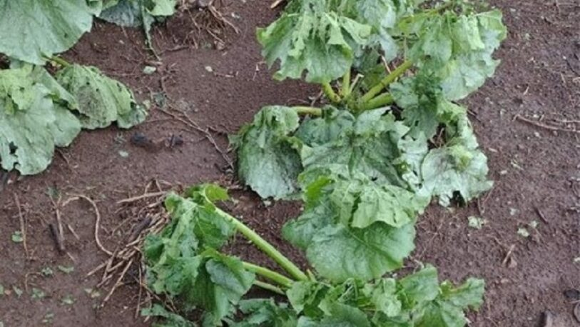 Fuerte granizada afectó plantaciones en Cerro Azul