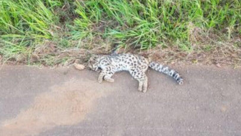 Cerro Azul: atropellaron y mataron un tirica