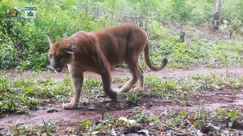 Filmaron a un puma y sus crías paseando por el Parque Provincial Urugua-í