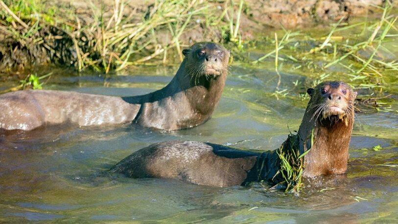 La nutria gigante traída de Suecia fue introducida en los Esteros del Iberá