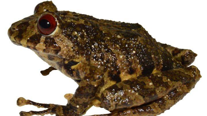Descubren una nueva especie de rana: tiene nombre de banda de rock