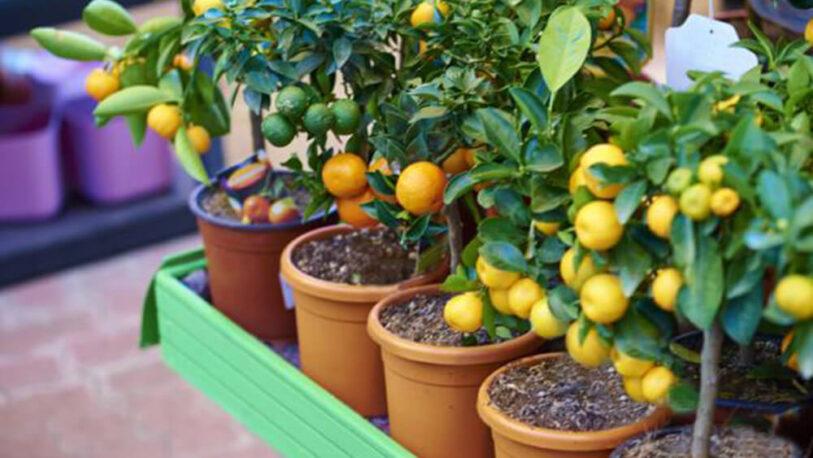 Conocé los árboles frutales ideales para cultivar en maceta