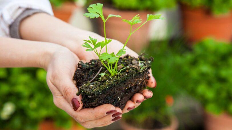 Paso a paso cómo plantar perejil en casa