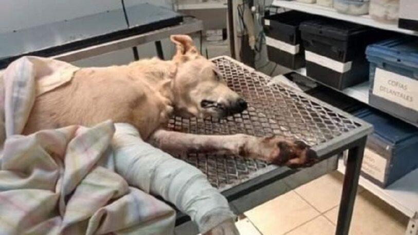 Piden colaboración para un perrito que fue atacado por un pitbull
