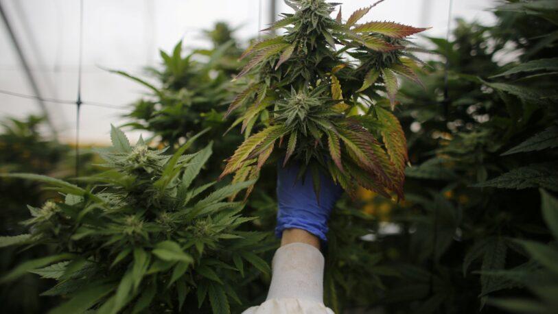 El Senado aprobó el marco regulatorio de producción de cannabis medicinal
