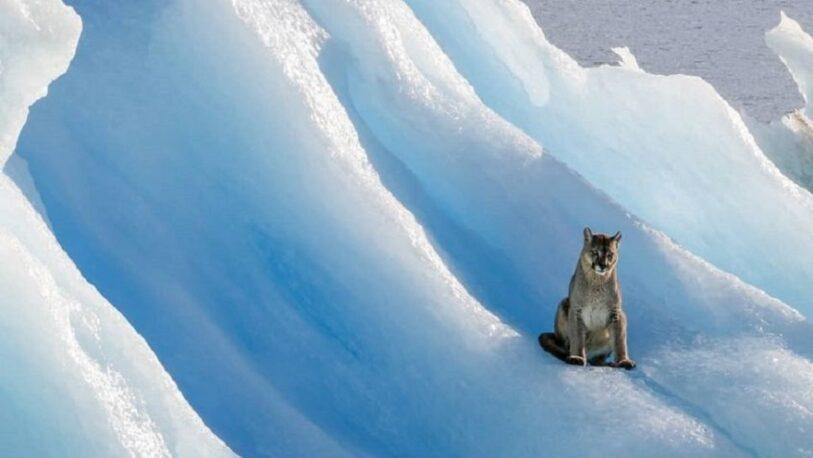 Insólito: Avistan a un puma en un témpano del glaciar sobre el Lago Argentino