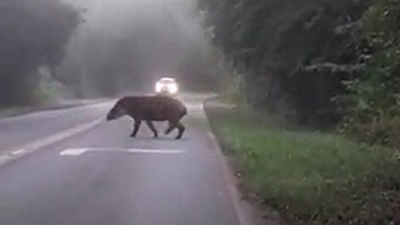 Captaron a un tapir cruzando la ruta en inmediaciones a Cataratas