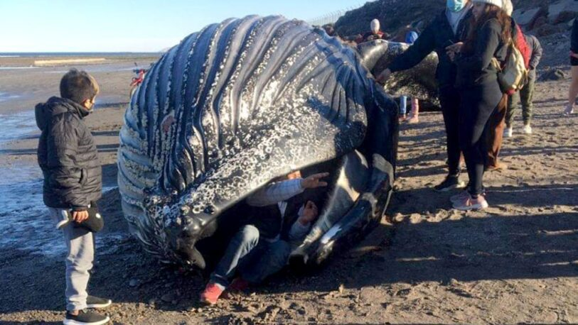 "Chubut: una ""ballena jorobada"" apareció muerta y la gente se sacó selfies"