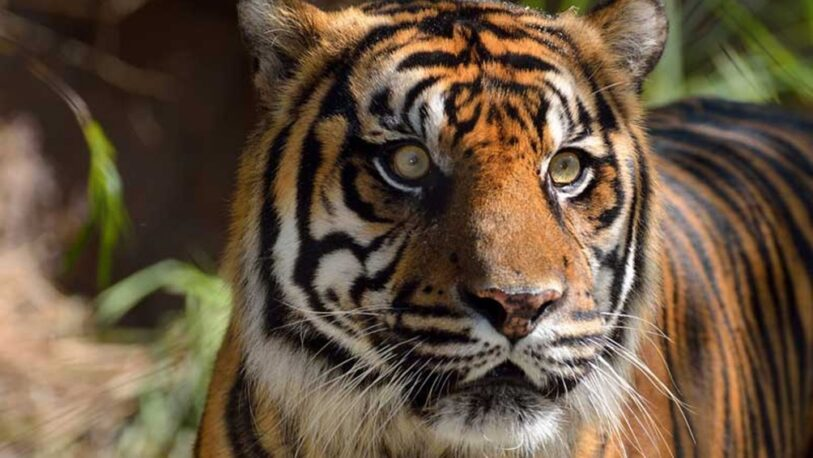 Dos tigres de Sumatra se contagiaron coronavirus en un zoológico