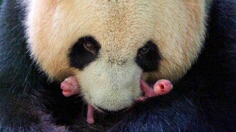Nacen dos pandas en perfecto estado en un zoo de Francia
