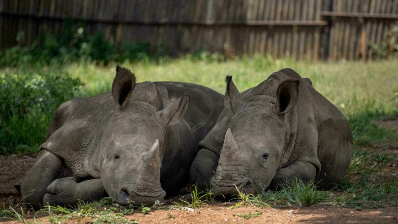 La caza furtiva de rinocerontes aumentó en Sudáfrica