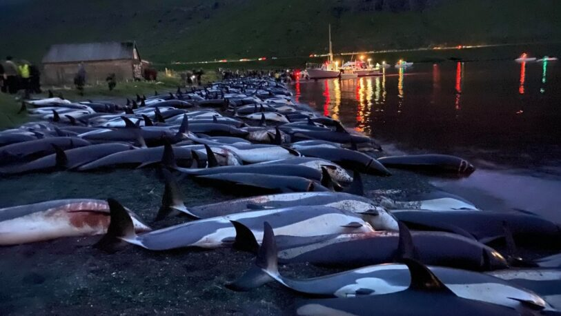 Dramática masacre de más de 1.400 delfines en la caza tradicional en las Islas Feroe