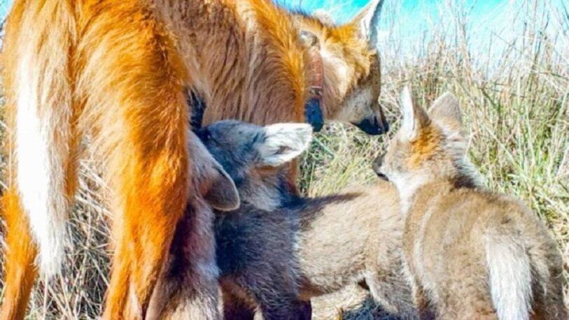 Se conocieron las primeras imágenes de tres cachorros de Aguará Guazú en el Parque Iberá