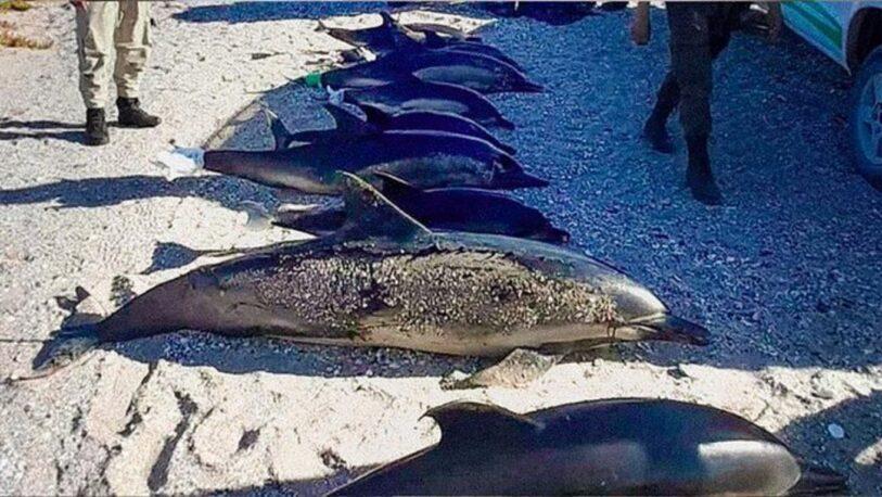 Aparecieron muertos 16 delfines en la costa de Río Negro