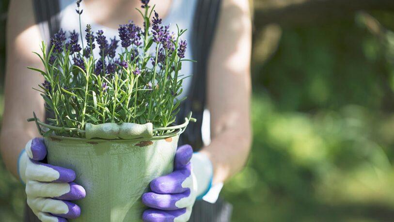 Cómo reproducir la lavanda en tu jardín durante la primavera