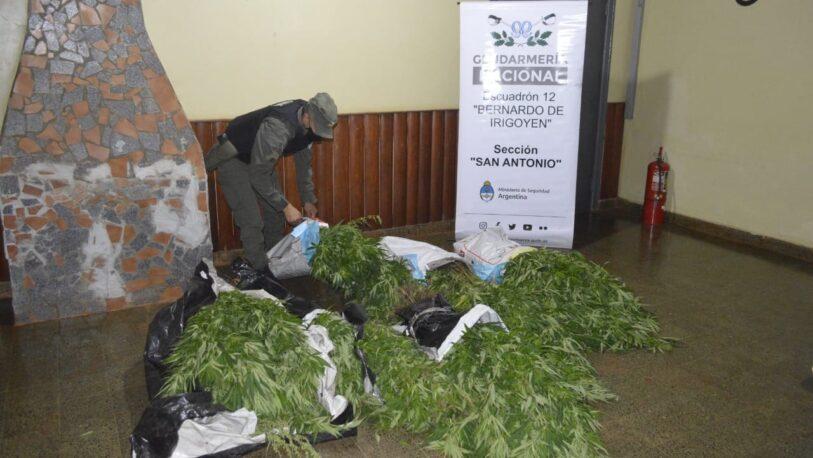 Incautan en 1.200 plantas de marihuana en el Departamento General Manuel Belgrano